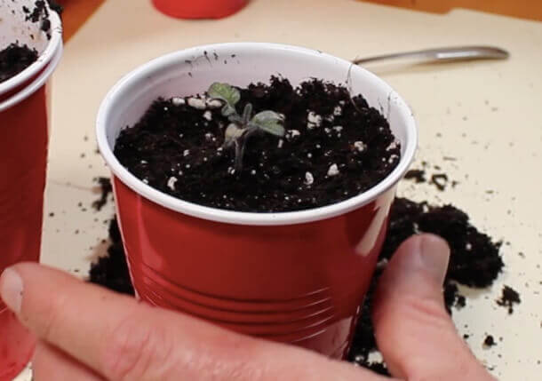 transplanted tomato