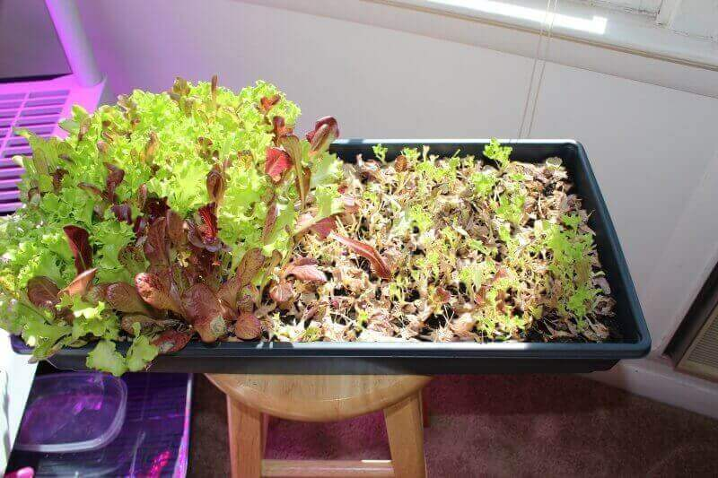 harvesting lettuce grown indoors
