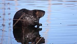 eager beaver book