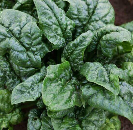 Spinach for the garden