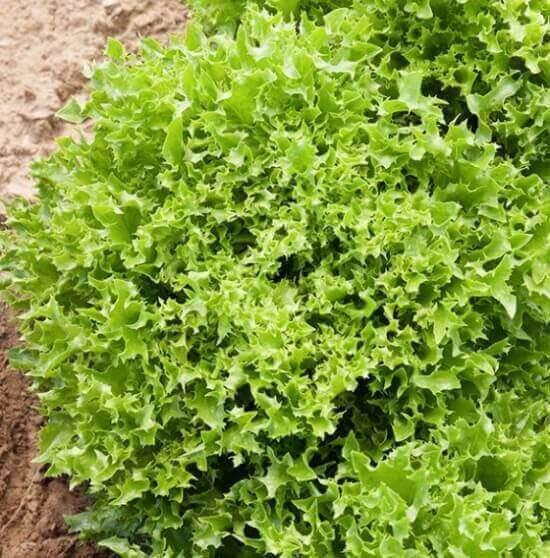 Ezrilla green leaf lettuce