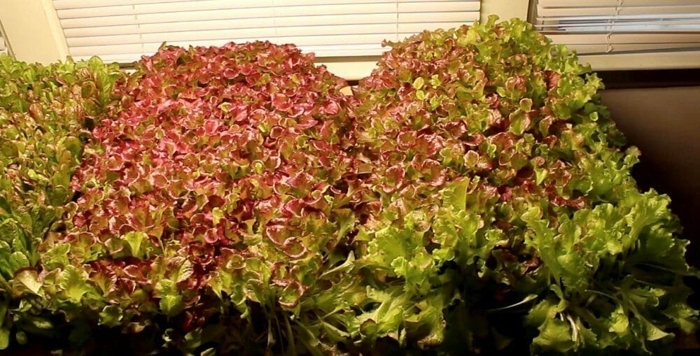 red leaf lettuce grown under LED lights