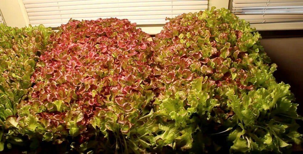 red leaf lettuce grown under LED lights
