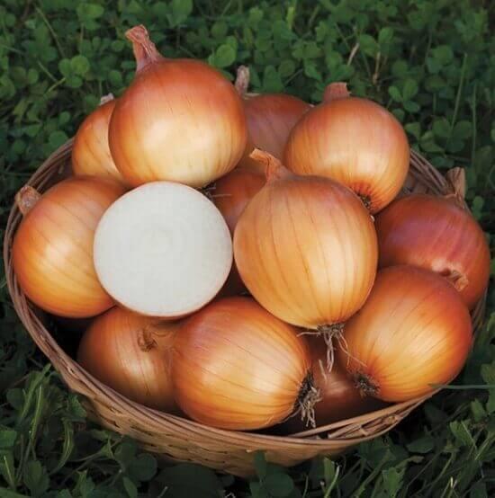 early bulb onions